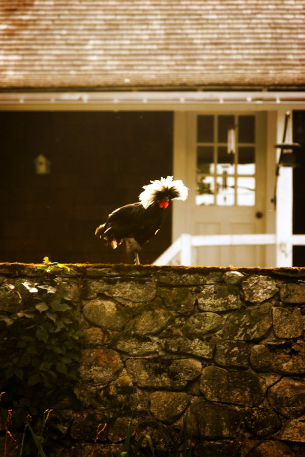 Rooster refusing to roost in the coop