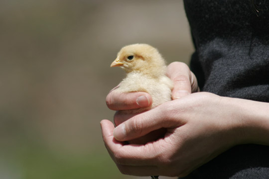 Coming to love chickens for their cuteness