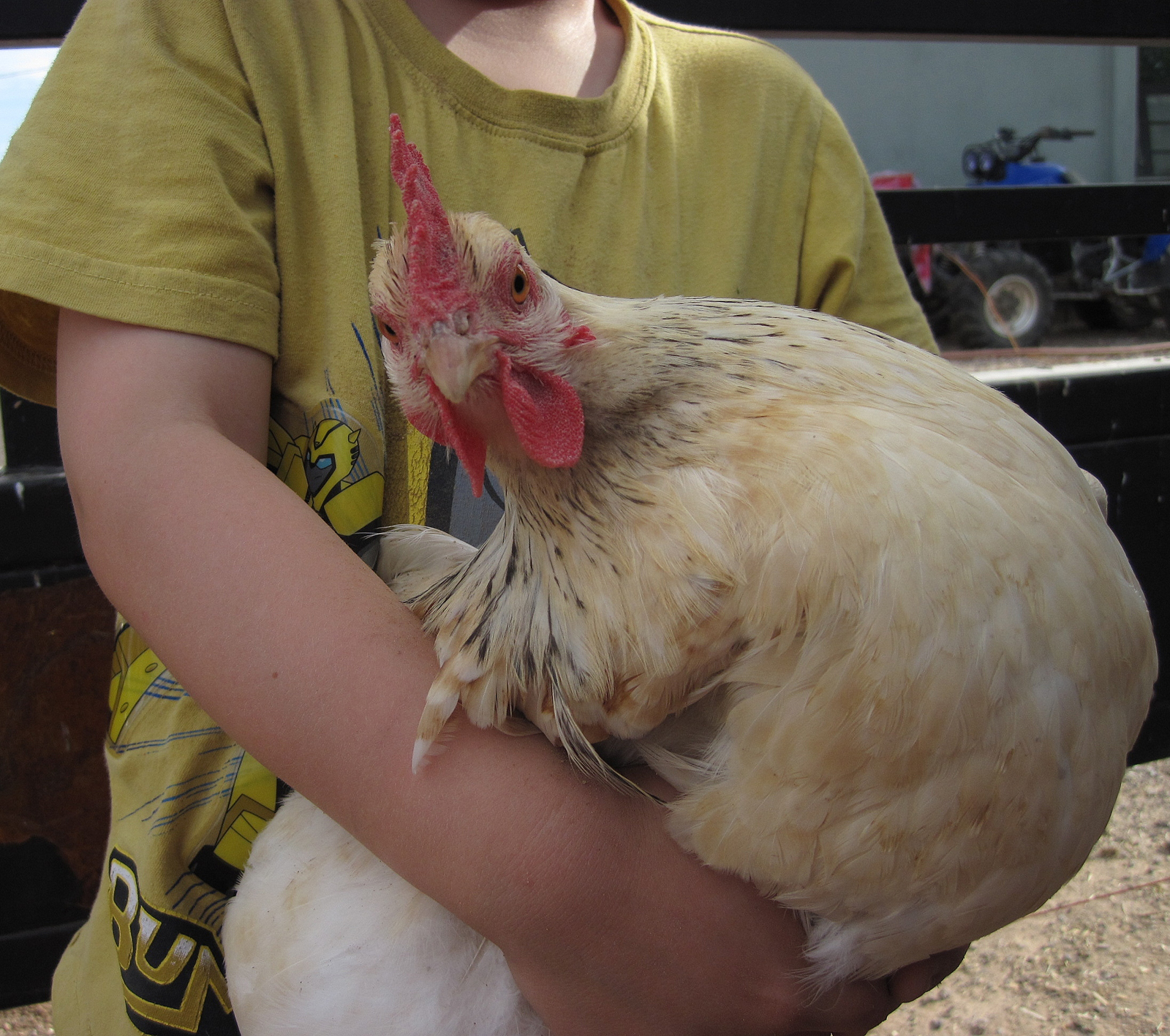 Docile Chickens What Is Docile My Pet Chicken Blog