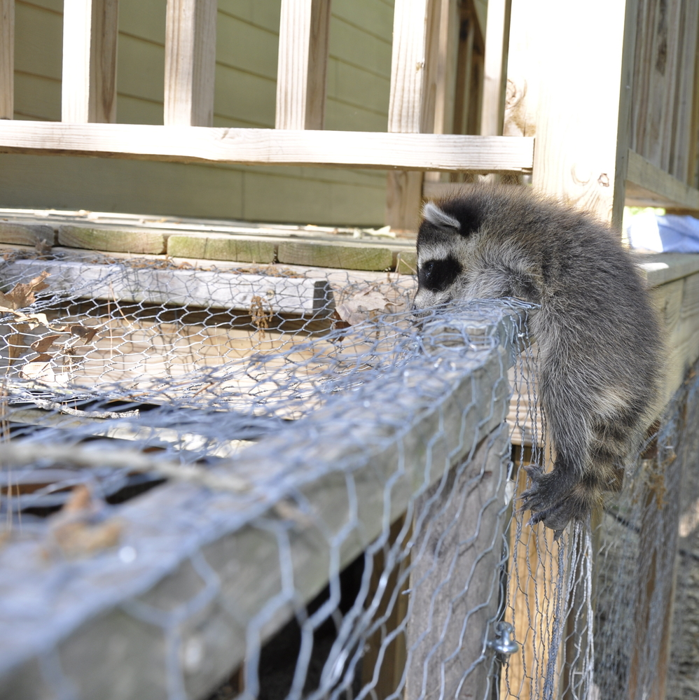 What Do I Need To Know About Raccoons If I Keep Chickens