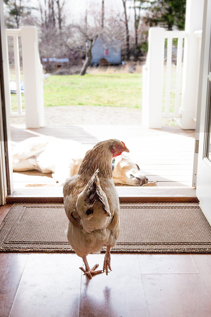Can I keep an indoor pet chicken, or do I need a coop and ...