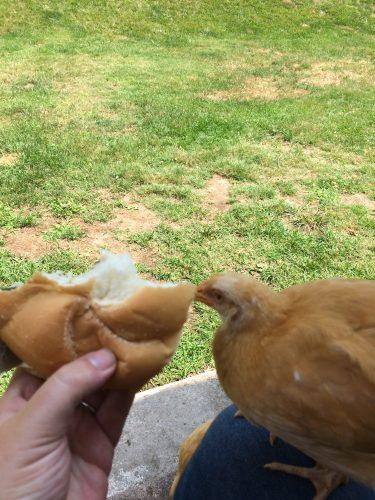 sharing lunch with a chicken