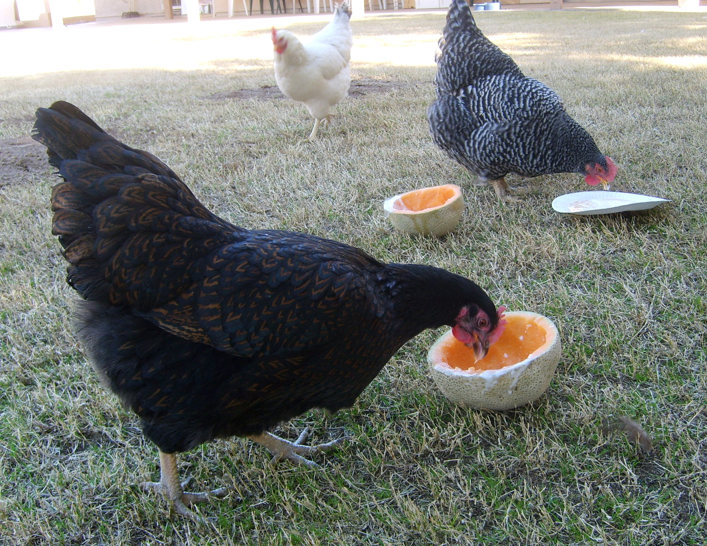Healthy Chicken Treats And What Not To Give Your Flock