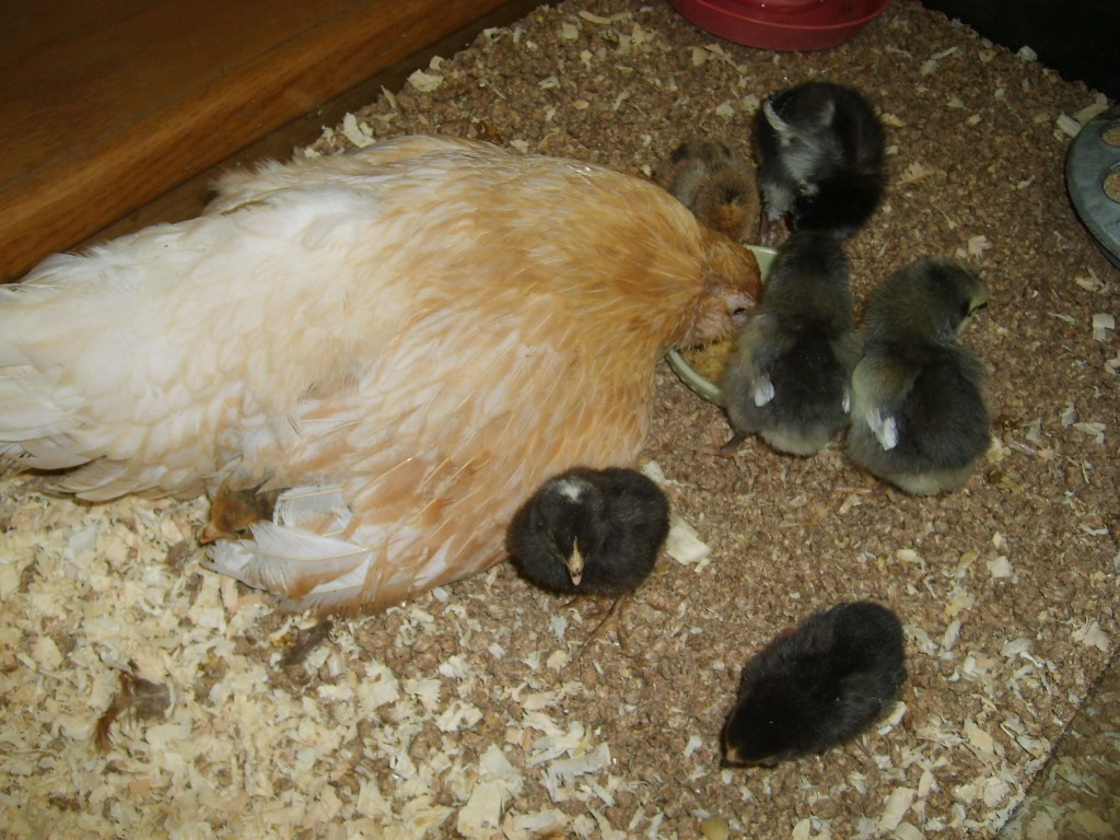 Broody bantam hen showing babies their treats