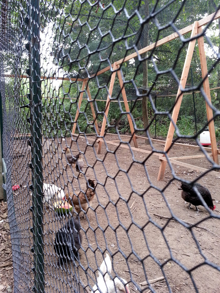 The chickens are loving their new run