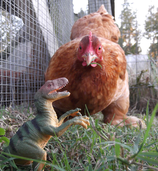 Chicken dinosaurs