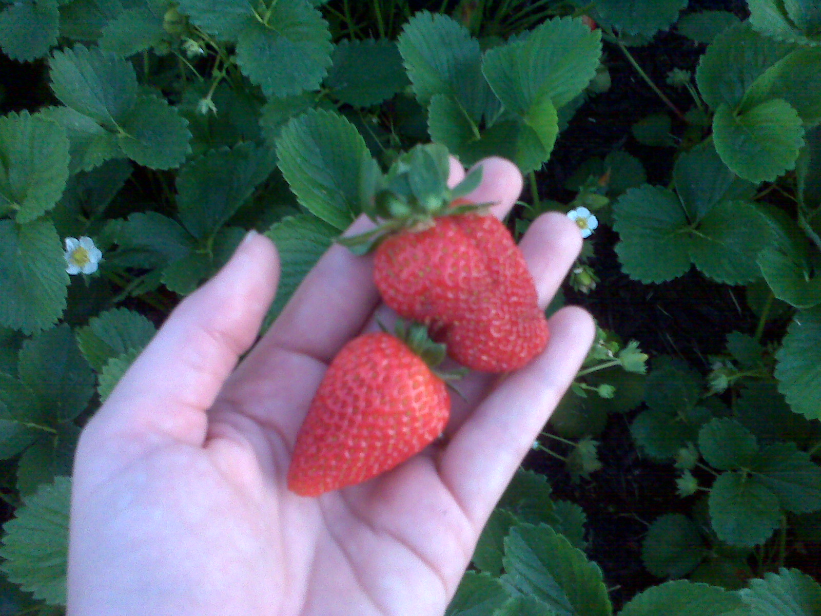 The strawberries did really well growing next to the chicken coop. They must enjoy of the rain run off from the chicken run.