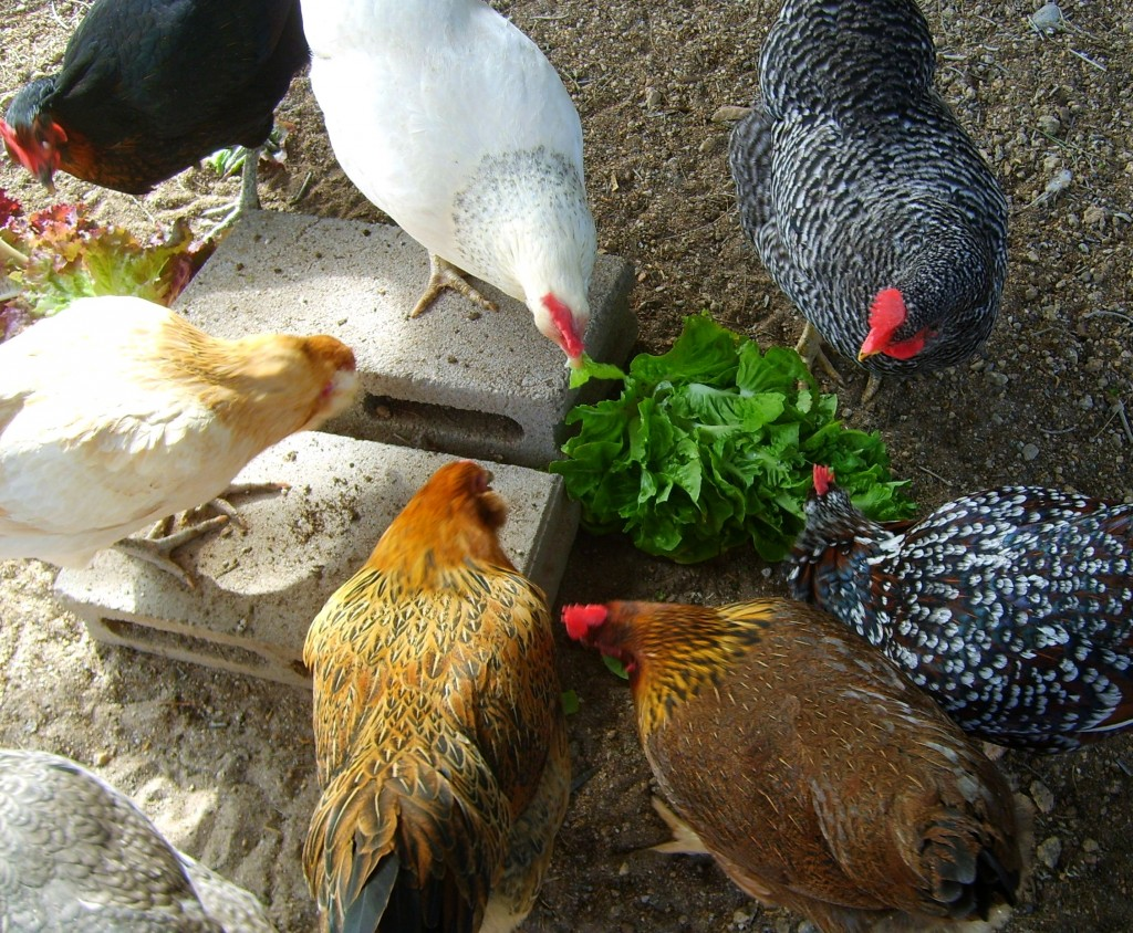 My backyard chickens are enjoying some fresh greens in the form of a head of lettuce that had started going to seed.