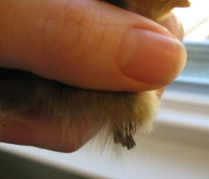 feather sexing: buff brahma wing feather tips at 3 days old.