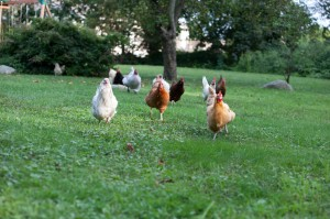 backyard - real free range - legalize chickens