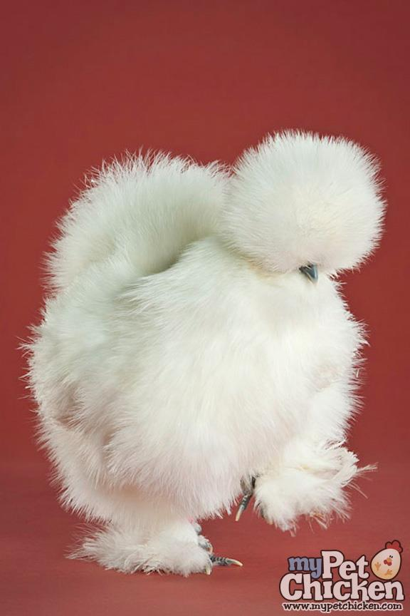Rare chicken breeds: Silkies