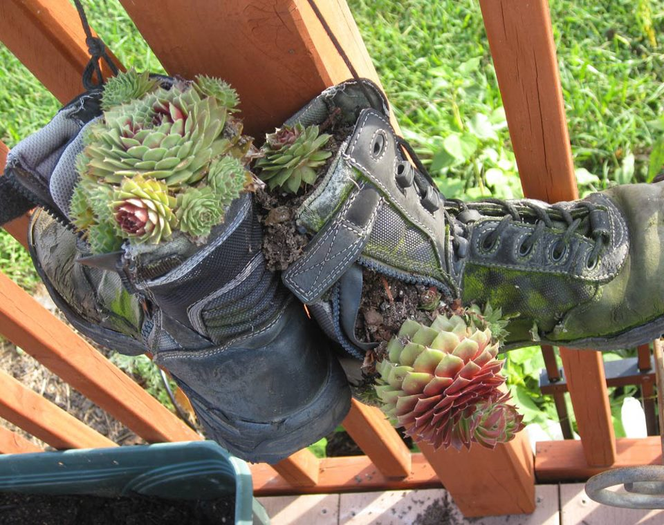 Hen and Chicks giving old work boots a second life.