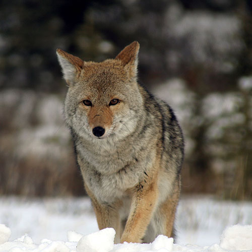 Coyote predate upon chickens; Wolf Pee keeps coyote away