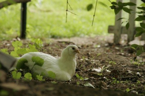 Chickens and gardening -limiting their time in the garden