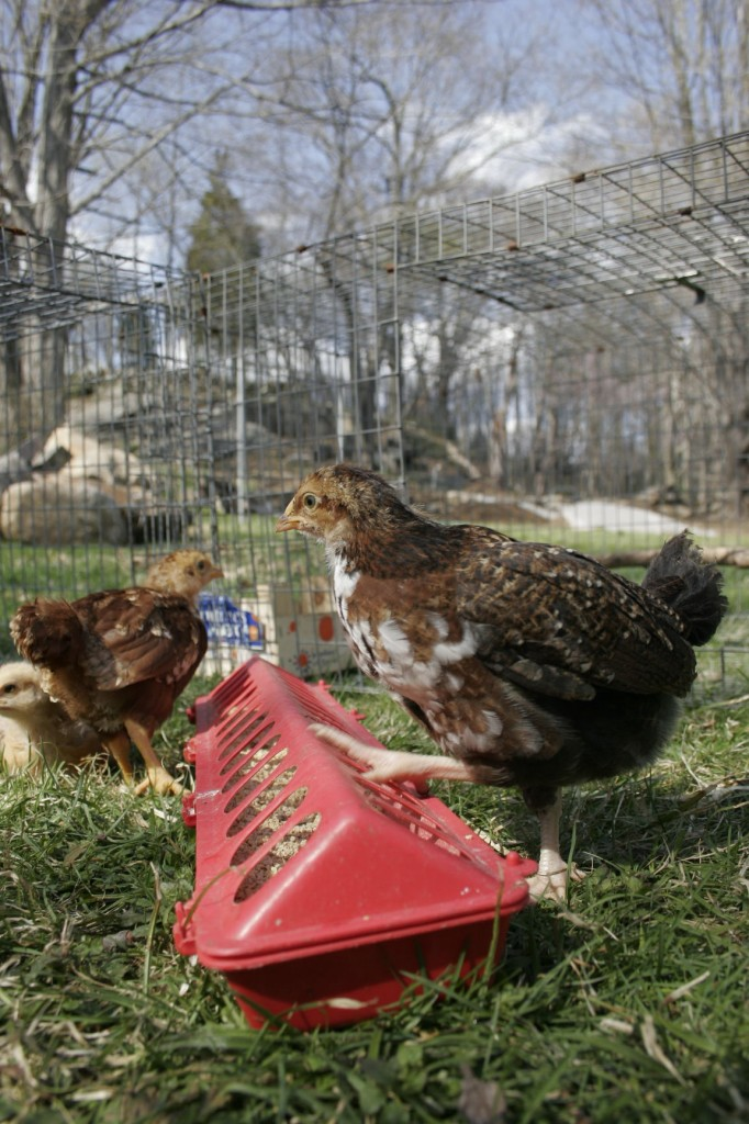 chickens confined in a grassy run