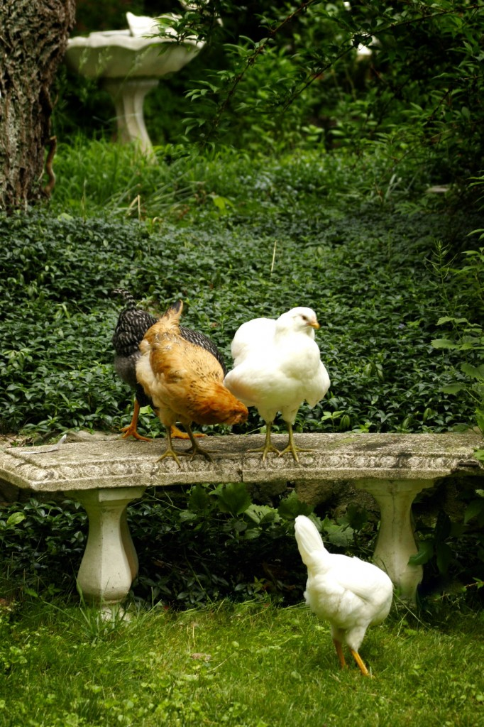 Chickens and gardening - they will poop on your bench!