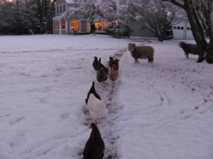 First Snow For chickens and sheep 127