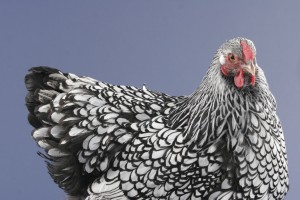 Cold hardy chicken breeds: wyandotte