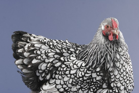 Silver Laced Wyandotte - chicken blog about your beautiful flock