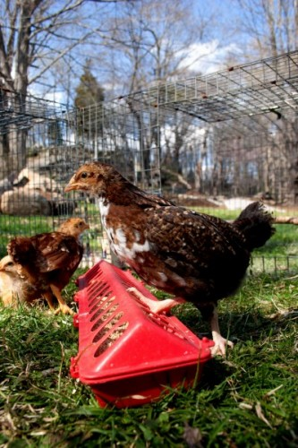 keeping young chicks in a second coop