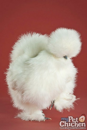 feather foot chicken: white silkie