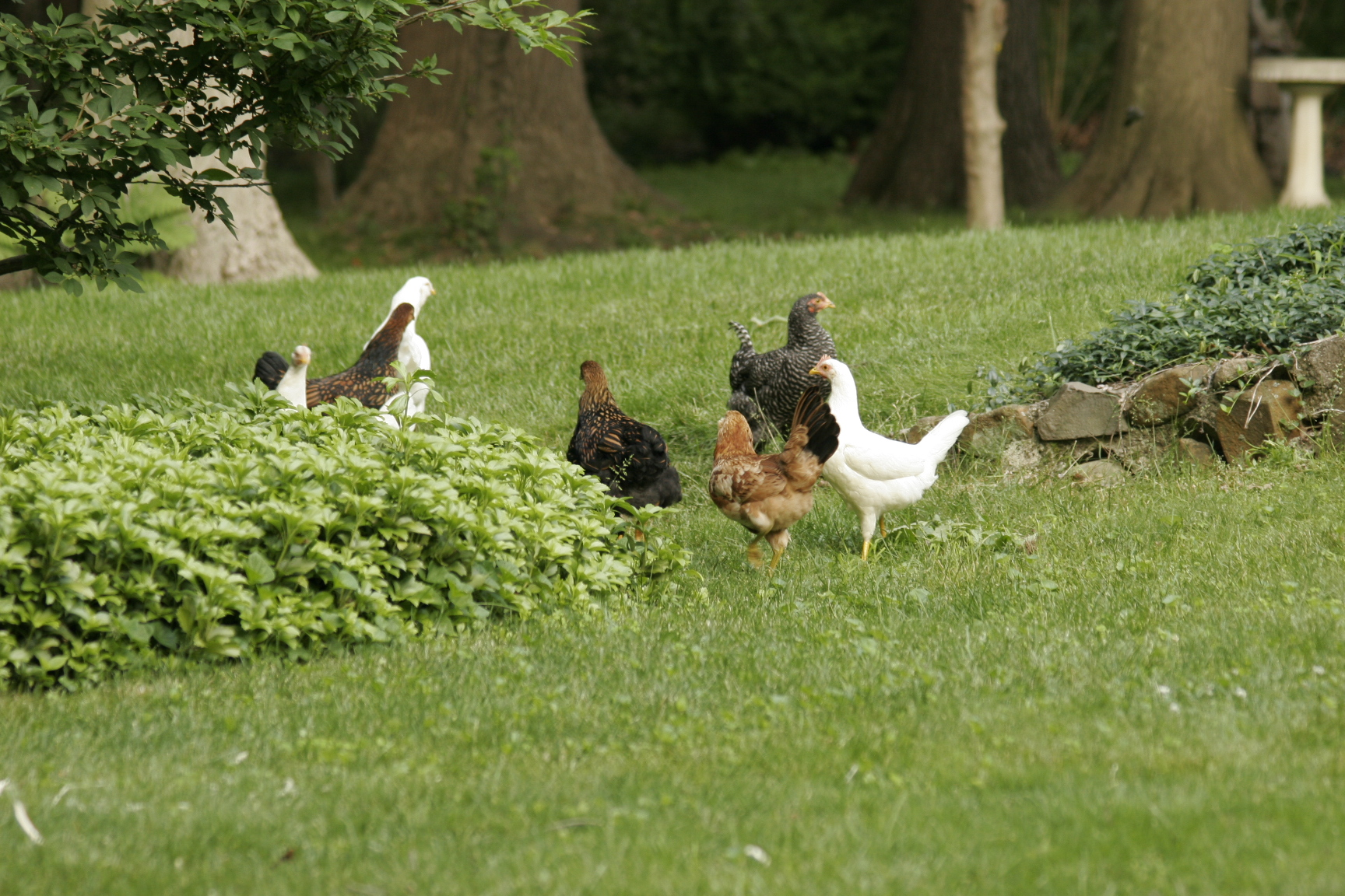 ranging chickens