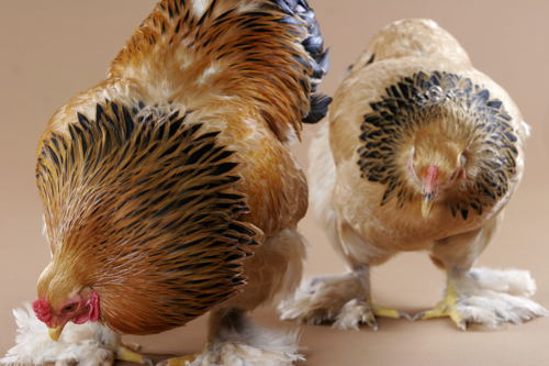 How can I tell if my juvenile bird is a rooster? from My Pet Chicken