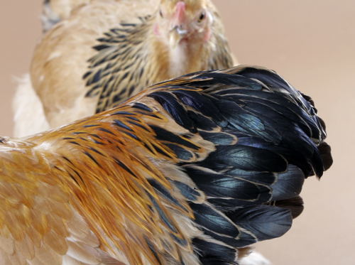 closeup of rooster saddle feathers