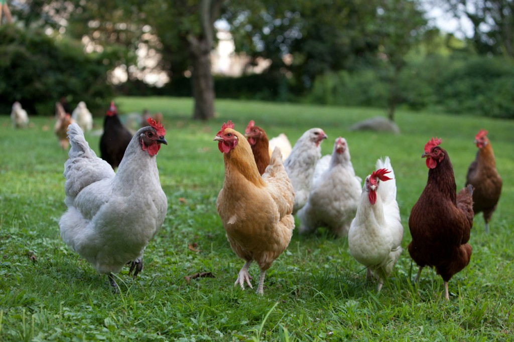 An assortment of chicken breeds