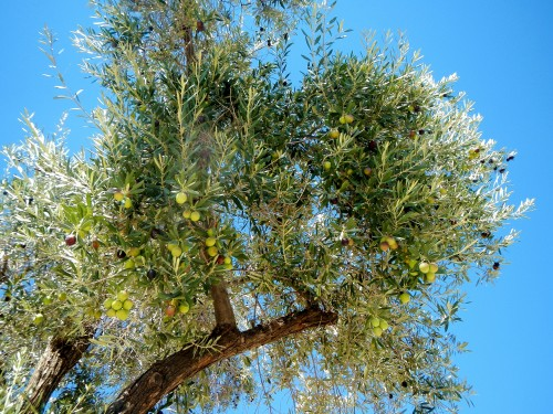 olive picking season: tree full of olives