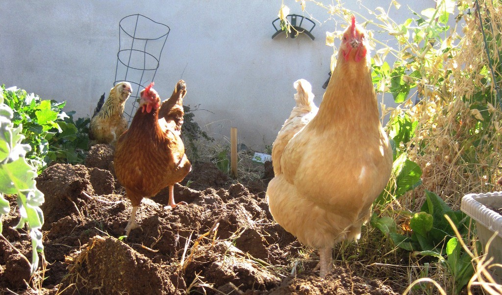 "Chickens ""helping"" in the garden"