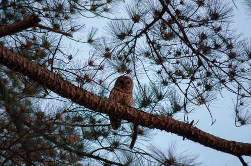 owl in tree: how to protect a rural flock