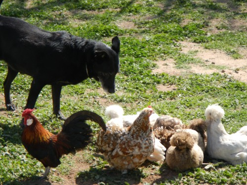 chickens and dog