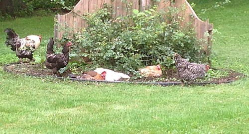chicken-mulch