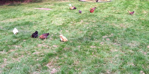chickens do yardwork while free-ranging