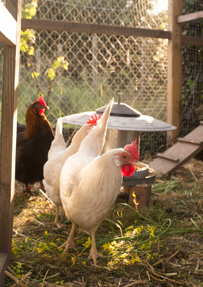 How do I get started with backyard pet chickens?