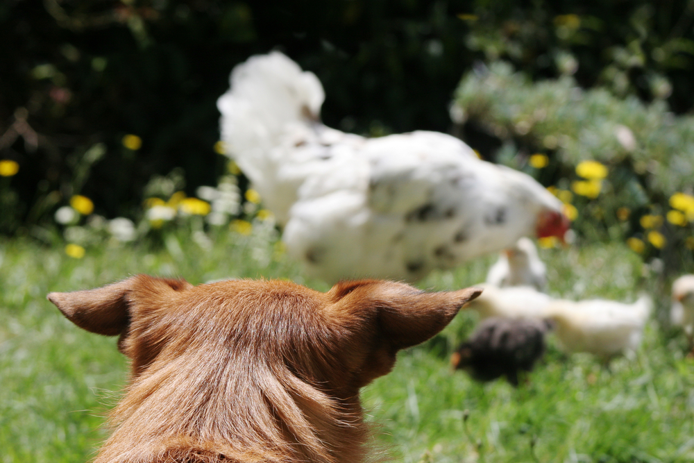 dog watching chicken flock