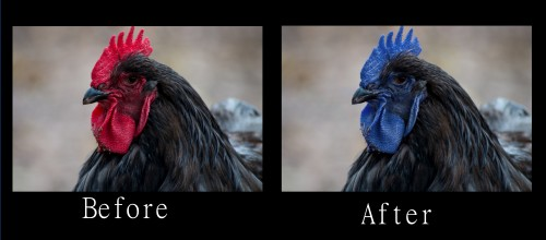 Blue combed chicken before and after of a cochin
