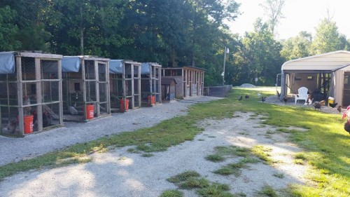 Backyard chicken farmer breeding pens