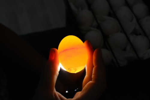 candling an egg that will hatch cuckoo bluebars