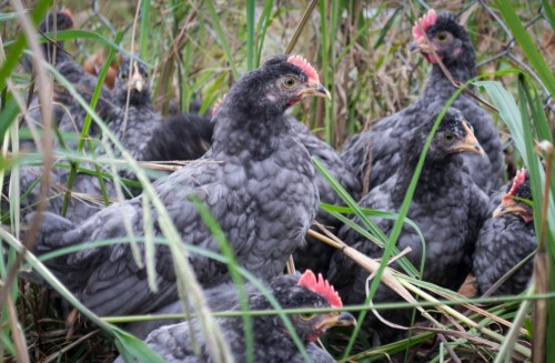 cuckoo bluebar pullets