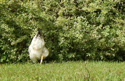 Chicken foraging in the bushes