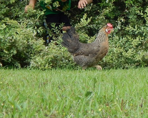 Chicken blooper, running