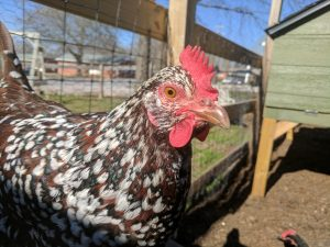 Speckled Sussex chickens change the world