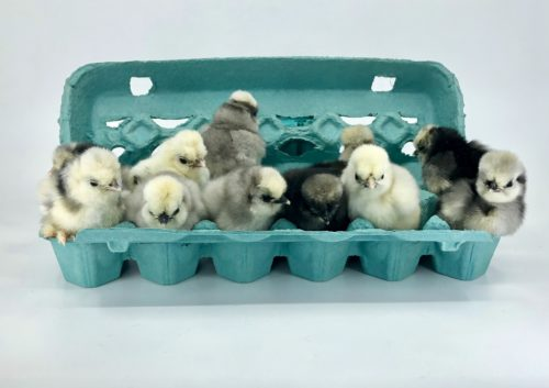 The result of incubator hatching: some cute, fuzzy chicks!