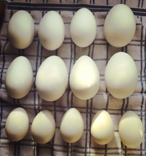 Goose Eggs and Duck Eggs