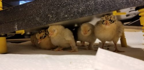 baby chick care showing chicks keeping warm under a heating plate