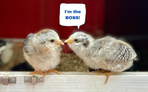 chicks having a conversation to determine who the boss of the flock is.