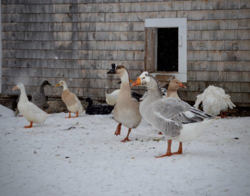 Geese and ducks play in the snow.