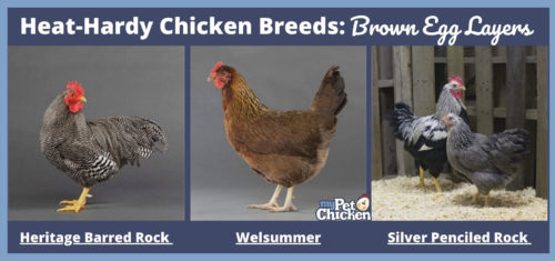 Best chicken breeds for hot weather. Photos of a Heritage Barred Rock, Welsummer, and two Silver Penciled Rock chickens.